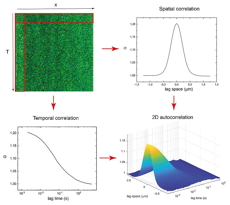 Spatial and temporal correlation via linescan in x using FLIMbee