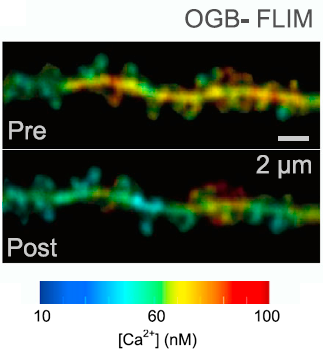 Example of [Ca2+] map (OGB-1 FLIM readout) in a spiny dendritic fragment, in resting conditions and ∼5 min after a short burst of back-propagating spikes. Color-coded scale applies for both images.
