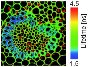 Image Fluorescence Lifetime Imaging (FLIM)