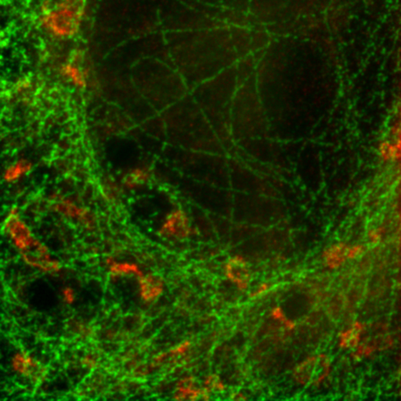 STED image - U2OS cell labeled for tubulin with Abberior STAR 635p (green) and giantin with Atto647N