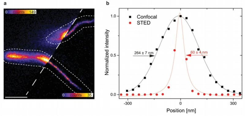 (a) Confocal and STED fluorescence image of MamK-TagRFP657 filaments in living MSR-1 (b) Intensity line profiles along the dashed line in (a), fitted to determine the full-width at half maximum (FWHM)