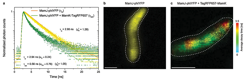 (a) Representative donor fluorescence decay curves of MSR-1 expressing only MamJ-phiYFP (single-exponential fit) or MamJ-phiYFP and TagRFP657-MamK (bi-exponential fit) (b) FLIM image of MamJ-phiYFP in MSR-1, scale bar: 1µm (c) FLIM image of MSR