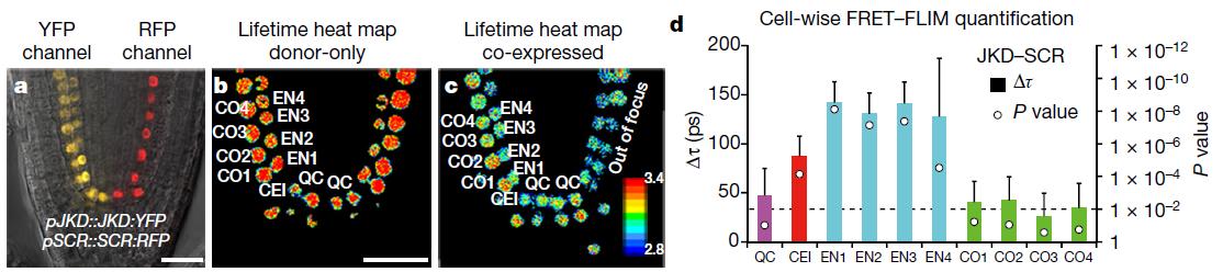 Cell wise fret flim quantification