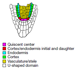 Different parts of the arabidopsis root meristern