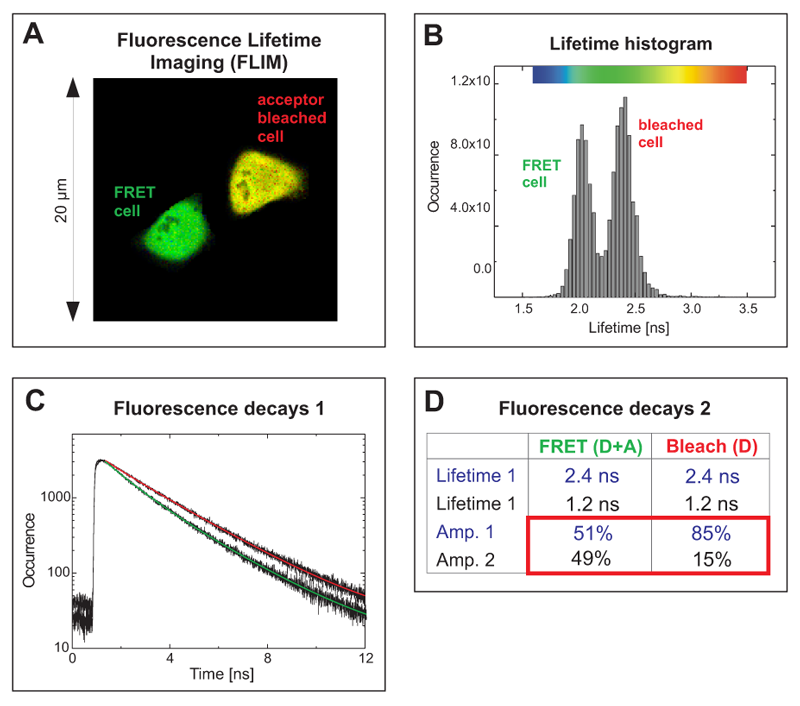 Acceptor photobleaching FLIM-FRET experiment of cells expressing a EGFP-RFP tandem protein