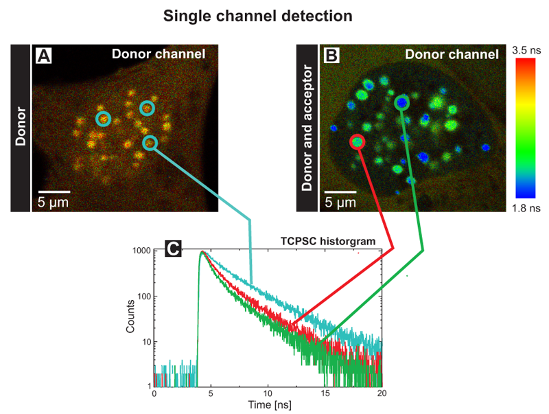 FLIM-FRET measurements of the human kinetochore proteins CENP‑A and CENP‑B in a single channel detection set-up
