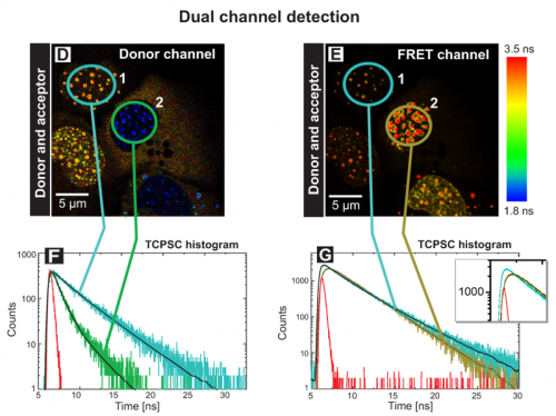 FLIM-FRET measurements of the human kinetochore proteins CENP‑A and CENP‑B in a  dual channel detection set-up