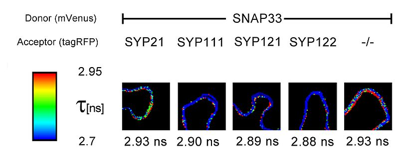 FLIM-FRET measurements of SNARE protein SNAP33 fused with mVenus