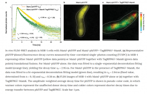 Combining FLIM-FRET and STED microscopy in vivo using a newly developed FRET pair