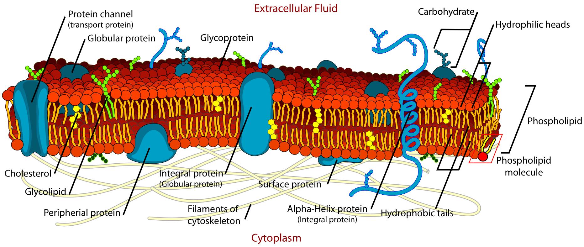 Study on membrane asymmetry